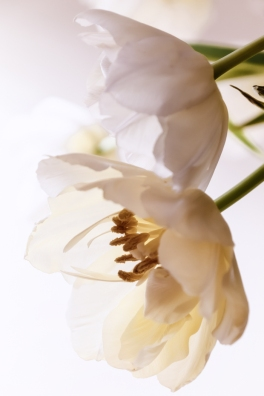 High Key Tulips