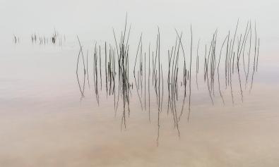 Reeds in Still Water