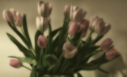 Soft Tulips