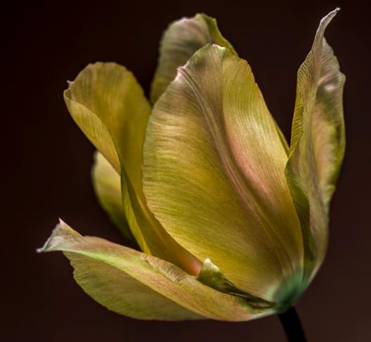 Tulip #5