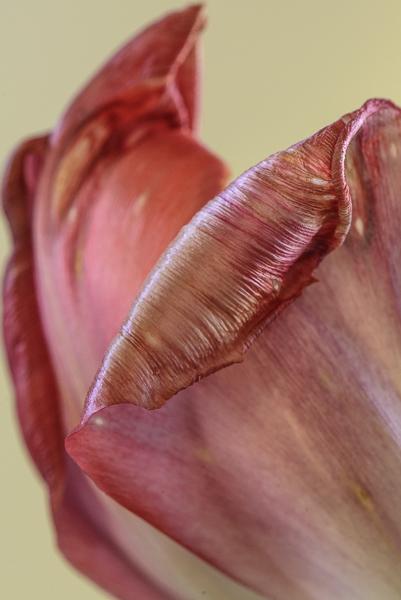 Tulip #6