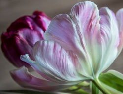Tulips_