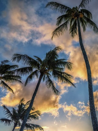 Palms with Cloud at Napili Bay