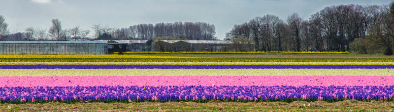 Holland - Hyacinths in April 2015 -7555