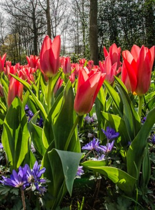 Holland - The Keukenhof - 7572